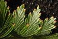 Davallia - Flickr - aspidoscelis (1).jpg
