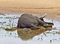 Dead Elephant Bull (Loxodonta africana) in Letaba riverbed (11930208004).jpg