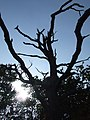 Dead Tree - geograph.org.uk - 1513488.jpg