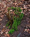 Dead Trunk with Moss in Fallätsche.jpg