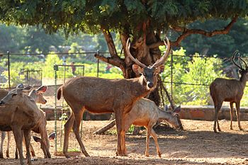 Deer 3 at Indira Gandhi Zoological Park, Visakhapatnam.jpg