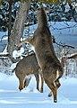 Deer Fight in the Back Yard -- Drummond Island, Michigan in Winter.jpg