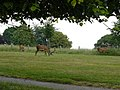 Deer at Wollaton Park - geograph.org.uk - 1381306.jpg