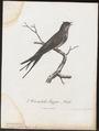 Dendrochelidon cristata - 1796-1808 - Print - Iconographia Zoologica - Special Collections University of Amsterdam - UBA01 IZ16700109.tif