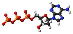 Ball-and-stick model of the deoxyadenosine triphosphate anion