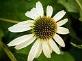 Der Sonnenhut, lat. Echinacea, Blüte.jpg
