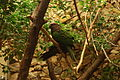 Deroptyus accipitrinus -National Zoo-6a.jpg