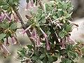 Desert snowberry, Symphoricarpos longiflorus (32340377440).jpg