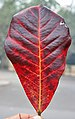 Desi Badam (Terminalia catappa) fallen leaf in Kolkata W IMG 2217.jpg