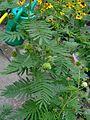 Desmanthus illinoensis inflorescence & fruits 08.jpg