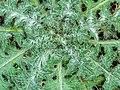 Detail van een bladrozet van een Speerdistel (Cirsium vulgare) 06-02-2020. (d.j.b) 01.jpg
