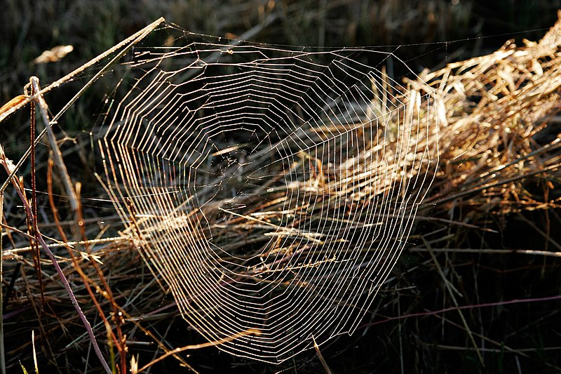 Fichier:Dewy web at dawn.jpg