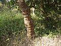 Dhanuvrksam (Malayalam- ധനുവൃക്ഷം) (4353630630).jpg