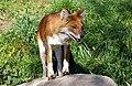 Dhole Asiatic wild dog (Cuon alpinus) (5797806095).jpg