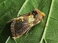 Diachrysia chrysitis - Burnished brass - Металловидка золотая (26236308747).jpg
