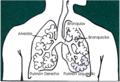 Diagrama pulmón.png