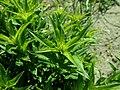 Dianthus barbatus 2019-04-30 2280.jpg