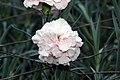 Dianthus caryophyllus CFPC Malea 2zz.jpg