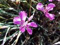 Dianthus toletanus Closeup Puertollano.jpg