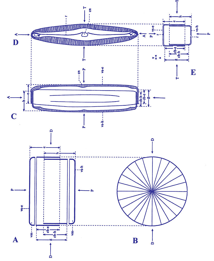 diatom diagram - photo #1