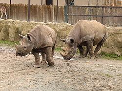 Nosorožec dvourohý, vyhledávaný obyvatel zoo