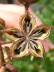 Dictamnus albus seeds.jpg