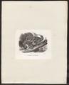 Didelphis murina - 1700-1880 - Print - Iconographia Zoologica - Special Collections University of Amsterdam - UBA01 IZ20300110.tif