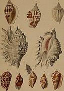 Die Flügelschnecken (Strombea) - in Abbildungen nach der Natur mit Beschreibungen (1845) (20292538204).jpg