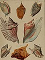 Die Flügelschnecken (Strombea) - in Abbildungen nach der Natur mit Beschreibungen (1845) (20922430931).jpg