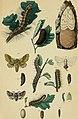 Die Waldverderber und ihre Feinde oder Beschreibung und Abbildung - der schädlichsten Forstinsecten und der übrigen schädlichen Waldthiere, nebst Anweisung zu ihrer Vertilgung und zur Schonung ihrer (20762487240).jpg