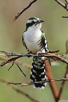 Diederik cuckoo, Chrysococcyx caprius, at Pilanesberg National Park, South Africa (15381449354).jpg