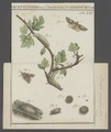 Diloba - Print - Iconographia Zoologica - Special Collections University of Amsterdam - UBAINV0274 057 01 0002.tif