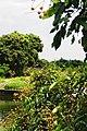 Dimocarpus longan.jpg