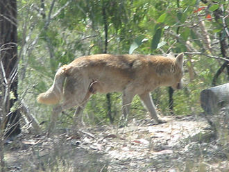 Dingo–dog hybrid - Although dingo-like, this wild dog has an atypical coloration and is therefore most likely a dingo-crossbreed