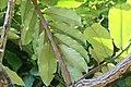 Diospyros blancoi 7zz.jpg