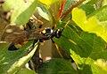 Diphyus.palliatorius2.-.lindsey.jpg