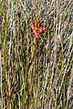 Disa ferruginea- Flickr 003.jpg