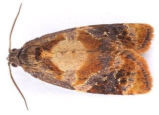 <i>Ditula angustiorana</i> Species of moth