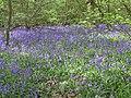 Dole Wood - geograph.org.uk - 637972.jpg