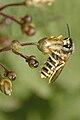 Dolichovespula.sylvestris.-.lindsey.jpg