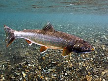 Underwater photo of Dolly Varden trout