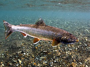 Dolly Varden trout - Dolly Varden in crystal clear river at the Bering Land Bridge National Preserve