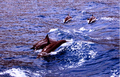 Dolphins in Ambracian Gulf, Preveza (2005).PNG