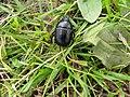 Dor beetle, Drummans - geograph.org.uk - 2023690.jpg