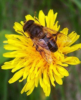 一見ミツバチのような、ハチに擬態したハエ