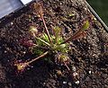 Drosera longifolia.jpg