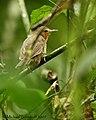 Dusky Antbird - female (443003560).jpg
