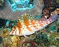 Dwarfhawkfish.jpg