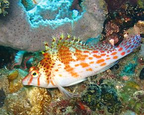 Description de l'image Dwarfhawkfish.jpg.