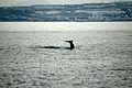 EM Gray Whale (4284142686).jpg